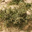 Bathurst burr plant