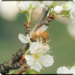 Bee on a white plum flower with twig in the background.