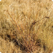 Photograph of black speargrass (Heteropogon contortus) in the Kimberley, Western Australia
