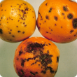 Symptoms of Citrus black spot on oranges