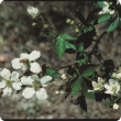 White blackberry flowers.