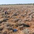 Bluebush-saltbush pasture in good condition with silver saltbush in the Pilbara