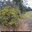 Boneseed bush with yellow flowers