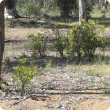 Invasive weed boneseed