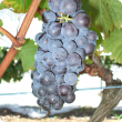 Brachetto wine grapes
