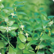 Bridal creeper flowers