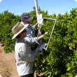 Measuring citrus crop load using a counting frame