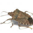 Brown marmorated stink bug. Photo credit: Kristie Graham, USDA ARS, Bugwood.org