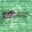 Adults are 0.6 millimetres long, red-brown with distinctly longer forelegs