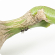 The Department of Agriculture and Food is asking the community to look out for and report signs of citrus gall wasp.