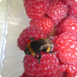 A bumble bee on top of a punnet of raspberries