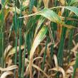 Irregular, elongated often interveinal leaf blotches with a narrow yellow margin