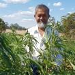 Irrigated industrial hemp trials at Manjimup