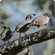 DAFWA has asked Perth hills residents to report any sightings of California quail, distinguished by a black crest. The males (left and middle birds) have a black face with white markings, while the females (right) are brown. Photograph: Warren Metcalfe/Sh
