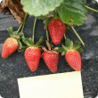 Symptoms of Gnomoniopsis on strawberry calyces