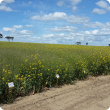 The long term National Variety Trials results for canola have just been updated, with the new hybrid canola varieties comparing well to the popular open pollinated varieties.
