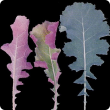 Serrated leaf blades that extend further down the petiole become thickened and roll inwards showing purple undersides