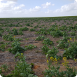 Canola in a paddock at different growth stages