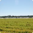 Leaf blight affected carrot crop