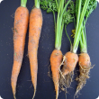 Carrots of the same age, healthy ones on the left and three damaged by root-knot nematodes on the right