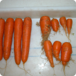 Carrots grown in nematode infected soil with (left) and without Telone treatment
