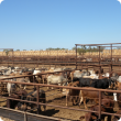 Brahman cattle in export yards