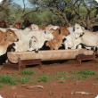 Brahman cattle standong at feed trough