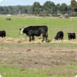 A cow and four calves eating hay in a paddock.