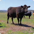 Southern cattle producers are reminded to watch for signs of bovine anaemia due to Theileria orientalis group (BATOG) during calving.