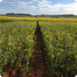 Sturt TT Canola at Chapman Valley nitrogen rate trial