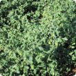 Kabuli chickpea in the Ord showing leaves and pods