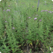 Perennial thistle growing along a fence line, with purple flower heads.