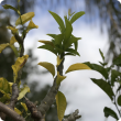 Citrus tree infested with citrus gall wasp