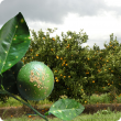 Banner - infected fruit and leaves against citrus plantation