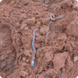 Earthworms in red loamy soil