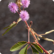 Common sensitive plant flowers