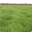 barley growth effects from compction by cropping traffic on a headland