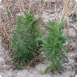 Two species of fleabane (flaxleaf fleabane (L) and tall fleabane (R) at Woogenellup, South Coast Western Australia.
