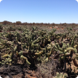 Part of an extensive coral cactus infestation at Tarmoola Station controlled by the Goldfields Nullarbor Recognised Biosecurity Association. November is Cactus Month.