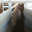 Cow leading her calf through a raceway.