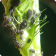 Cowpea aphid feeding on lupin stem. Cow pea aphids are dark in colour.