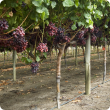 Rows of Crimson seedless vines
