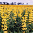A photograph of a crop of yellow lupin in full flower. In the foreground individual plants with green leaves and individual yellow flowers on long racemes can be seen. In the mid and back ground the flowers dominate so the crop becomes a sea of yellow.