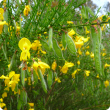 Cytisus scoparius flowers and seed pods