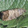 Codling moth at rest on a leaf