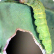 Pale green, cigar-shaped, caterpillar up to 12 millimetres in length.