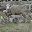Ewes with lambs at foot