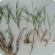 Cockchafer damage cereal roots