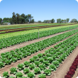 Different types of lettuce crops being grown in rows.
