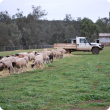 Sheep eating hay in a paddock